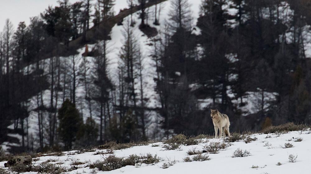 pesquisa-no-Parque-Nacional-Yellowstone-nos-EUA-creditos-Fotolia